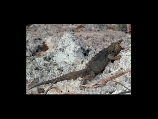 Cayo Largo - Iguana
