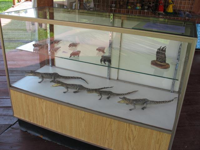Zapata Swamp - cocodrilo